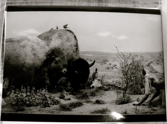 Buffalo at Grand Rapids Public Museum