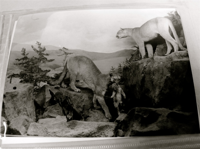 Bobcats at Grand Rapids Public Museum